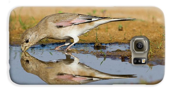 Desert Finch (carduelis Obsoleta) Galaxy S6 Case by Photostock-israel