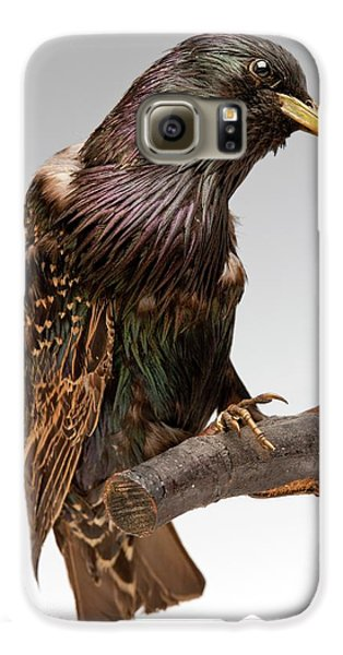 European Starling Galaxy S6 Case by Ucl, Grant Museum Of Zoology