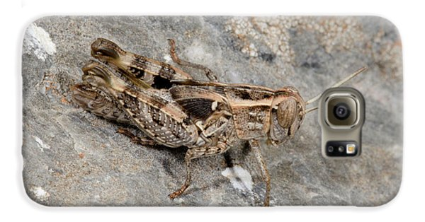 Grasshopper Calliptamus Barbarus Juvenile Galaxy S6 Case by Nigel Downer