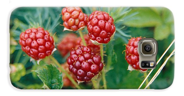Highbush Blackberry Rubus Allegheniensis Grows Wild In Old Fields And At Roadsides Galaxy S6 Case