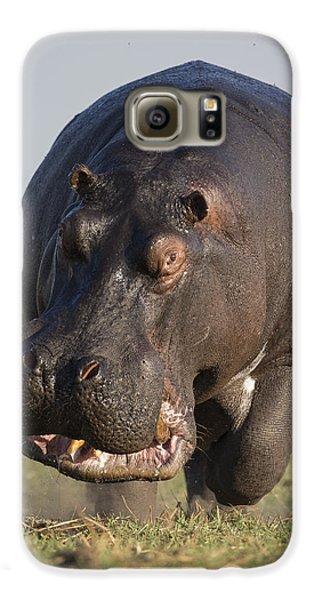 Hippopotamus Bull Charging Botswana Galaxy S6 Case by Vincent Grafhorst
