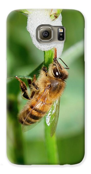 Cuckoo Galaxy S6 Case - Honey Bee Drinking From Cuckoo-spit by Dr. John Brackenbury