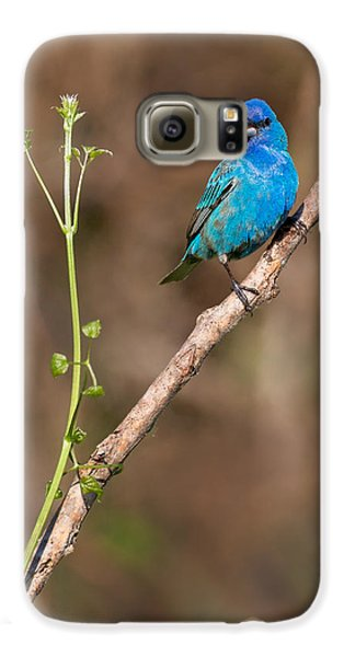 Indigo Bunting Portrait Galaxy S6 Case by Bill Wakeley