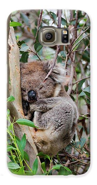 Koala (phascolarctos Cinereus Galaxy S6 Case