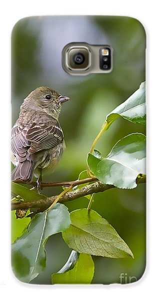 Lazuli Bunting Female 2 Galaxy S6 Case by Sharon Talson