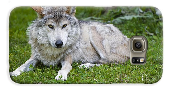 Galaxy S6 Case featuring the photograph Mexican Gray Wolf by Sebastian Musial