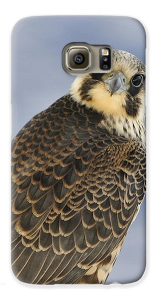 Peregrine Falcon Looking At You Galaxy S6 Case