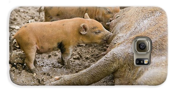 Pigs Reared For Pork On Tuvalu Galaxy S6 Case by Ashley Cooper