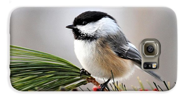 Pine Chickadee Galaxy S6 Case by Christina Rollo
