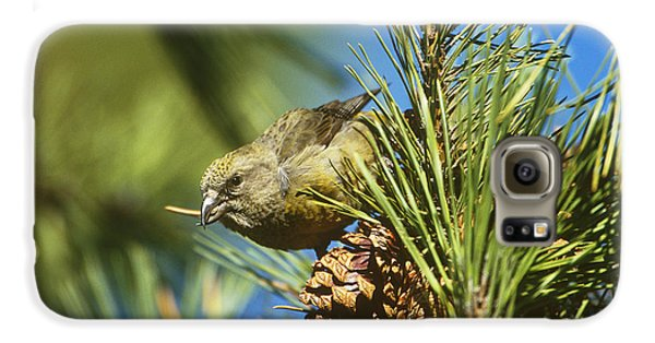 Red Crossbill Eating Cone Seeds Galaxy S6 Case
