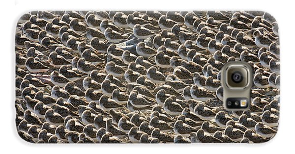 Semipalmated Sandpipers Sleeping Galaxy S6 Case by Yva Momatiuk John Eastcott