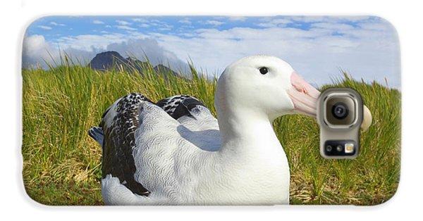 Wandering Albatross Incubating  Galaxy S6 Case