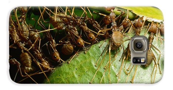 Weaver Ant Group Binding Leaves Galaxy S6 Case by Mark Moffett