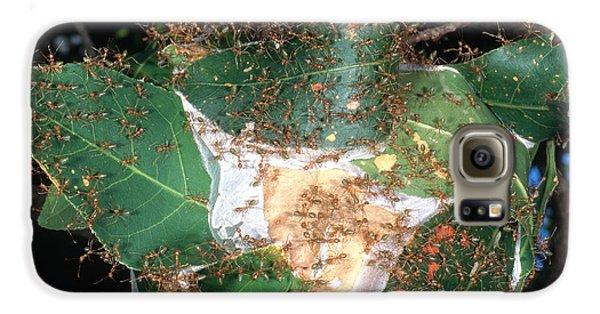 Weaver Ants Galaxy S6 Case by Gregory G. Dimijian, M.D.