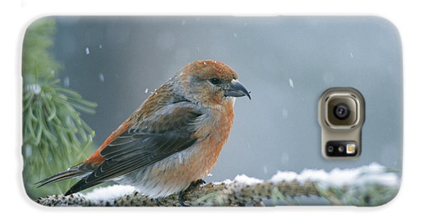 A Red Crossbill Loxia Curvirostra Galaxy S6 Case