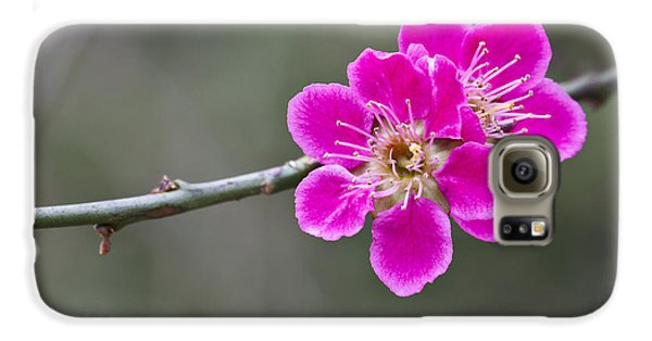 Galaxy S6 Case featuring the photograph Japanese Flowering Apricot. by Clare Bambers