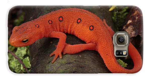 Newts Galaxy S6 Case - A Red Eft Crawls On The Forest Floor by George Grall