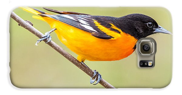 Baltimore Oriole Galaxy S6 Case by Paul Freidlund