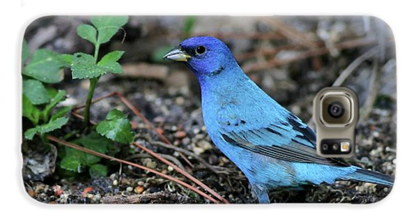 Beautiful Indigo Bunting Galaxy S6 Case by Sabrina L Ryan