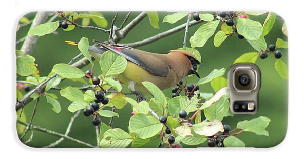 Cedar Waxwing Eating Berries Galaxy S6 Case by Maili Page