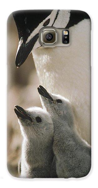 Chinstrap Penguin Pygoscelis Antarctica Galaxy S6 Case by Tui De Roy