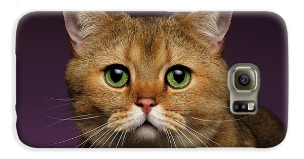 Closeup Golden British Cat With  Green Eyes On Purple  Galaxy S6 Case by Sergey Taran