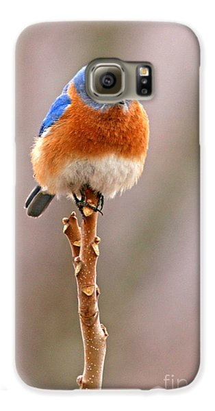 Bluebird Galaxy S6 Case - Eastern Bluebird Treetop Perch by Max Allen