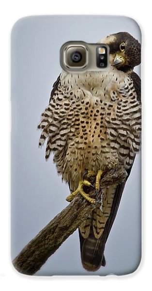 Falcon With Cocked Head Galaxy S6 Case