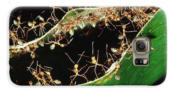 Green Tree Ants Galaxy S6 Case by B. G. Thomson