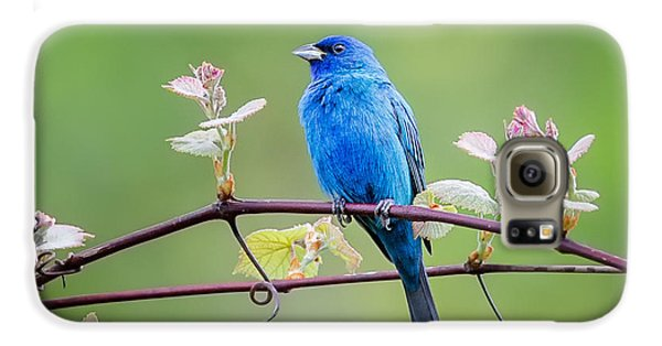 Indigo Bunting Perched Galaxy S6 Case by Bill Wakeley