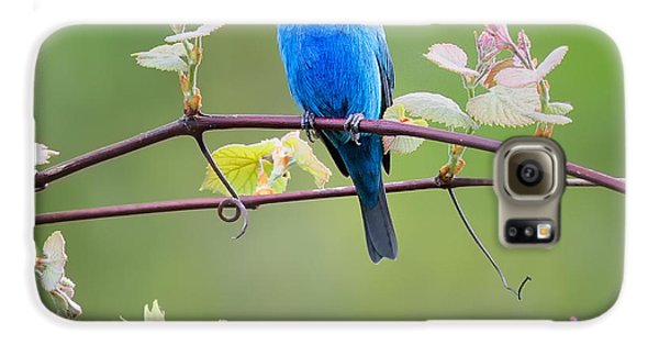 Indigo Bunting Perched Square Galaxy S6 Case by Bill Wakeley