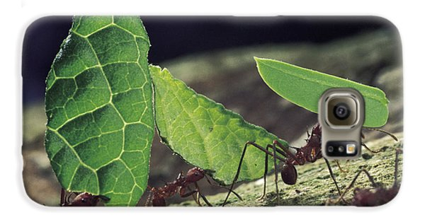 Leafcutter Ant Atta Cephalotes Workers Galaxy S6 Case