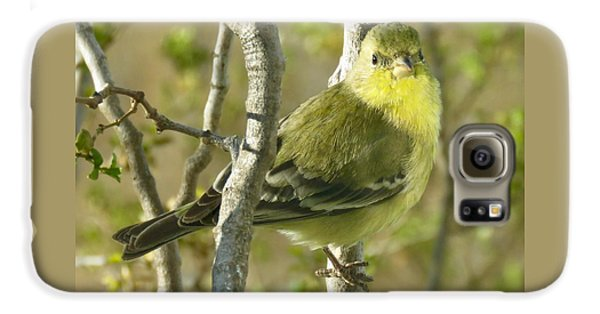 Lesser Goldfinch 1 Galaxy S6 Case