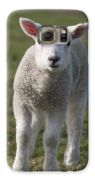 Sheep Galaxy S6 Case - Northumberland, England A White Lamb by John Short
