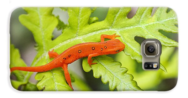 Newts Galaxy S6 Case - Red Eft Eastern Newt by Christina Rollo