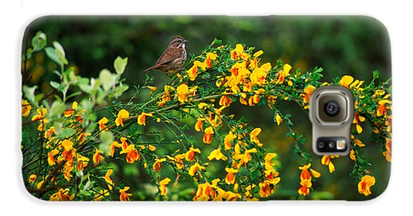 Song Sparrow Bird On Blooming Scotch Galaxy S6 Case by Panoramic Images