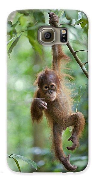 Sumatran Orangutan Pongo Abelii One Galaxy S6 Case by Suzi Eszterhas