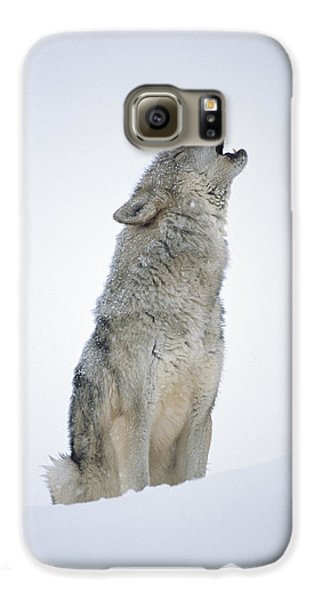 Timber Wolf Portrait Howling In Snow Galaxy S6 Case