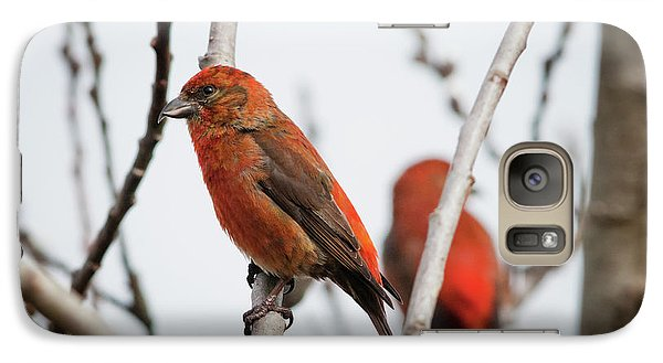 Red Crossbills Perch In A Willow Galaxy Case by Robert L. Potts