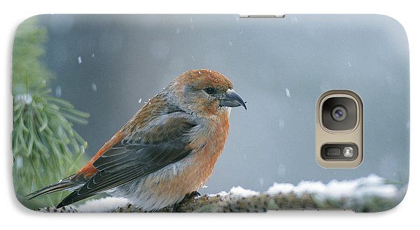 Crossbill Galaxy S7 Case - A Red Crossbill Loxia Curvirostra by Michael S Quinton