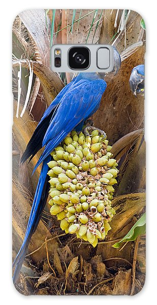 Macaw Galaxy Case - Hyacinth Macaws Anodorhynchus by Panoramic Images
