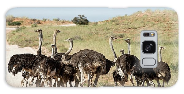 Behaviour Galaxy Case - Southern Ostriches Performing Geophagia by Tony Camacho