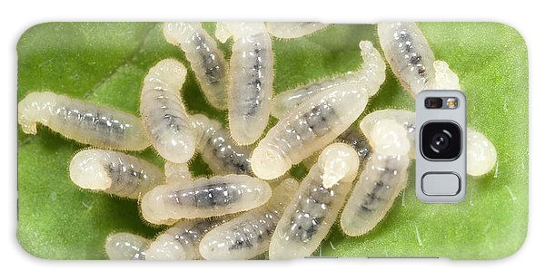 Black Garden Ant Larvae Galaxy Case by Nigel Downer