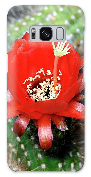 Sea Lily Galaxy Case - Cactus (echinopsis Andagalensis) by Anthony Cooper/science Photo Library