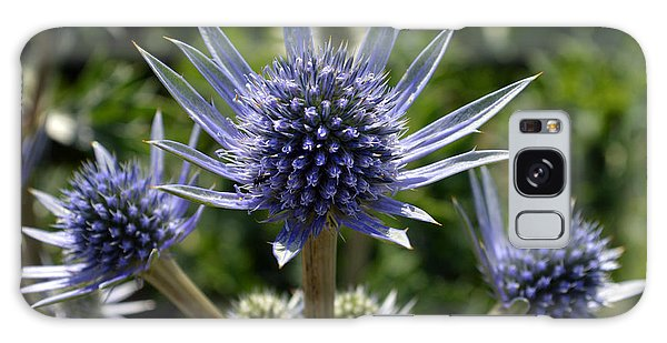 Eryngium Bourgatii. Galaxy Case