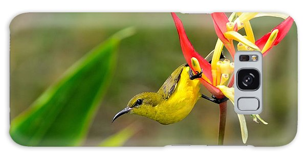 Female Olive Backed Sunbird Clings To Heliconia Plant Flower Singapore Galaxy Case