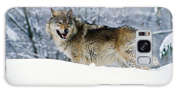 Gray Wolf In Snow, Montana, Usa Galaxy S8 Case