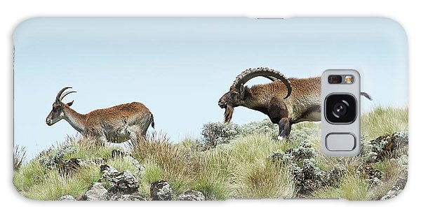 Behaviour Galaxy Case - Male Wahlia Ibex Checking A Females Odour by Tony Camacho