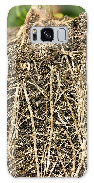 Helianthus Annuus Galaxy Case - Roots Of Sunflower (helianthus Annuus) by Dr Jeremy Burgess/science Photo Library