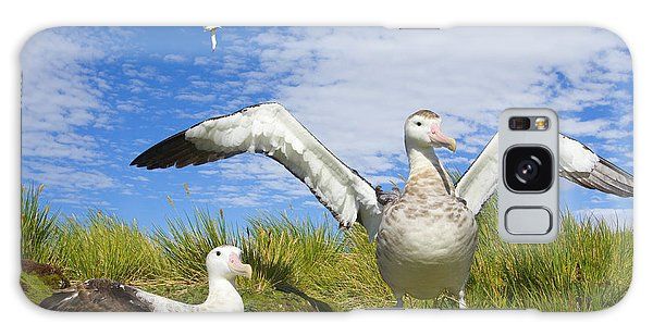 Albatross Galaxy Case - Wandering Albatross Courting  by Yva Momatiuk John Eastcott